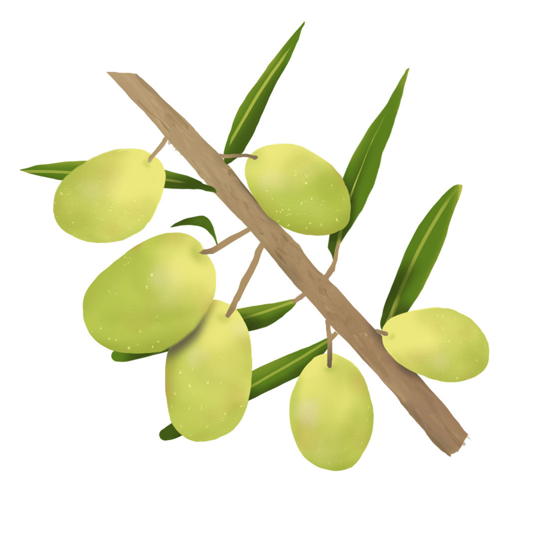 Olive fruits on branch