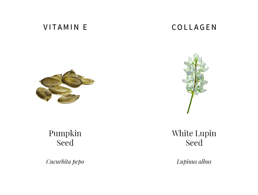 ingredients education, pumpkin seed, vitamin e, tocopherol, bolster defense, eliminate extrinsic aging, white lupin, lupeol, collagen synthesis, skin elasticity