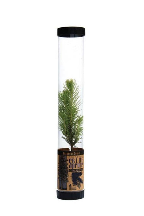 blue spruce live tree as gift