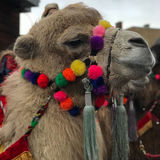 Close up of camel's face with bright pompoms