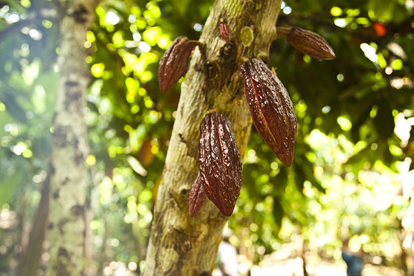 Join us in March 2017 visiting cacao farmers in Ecuador!
