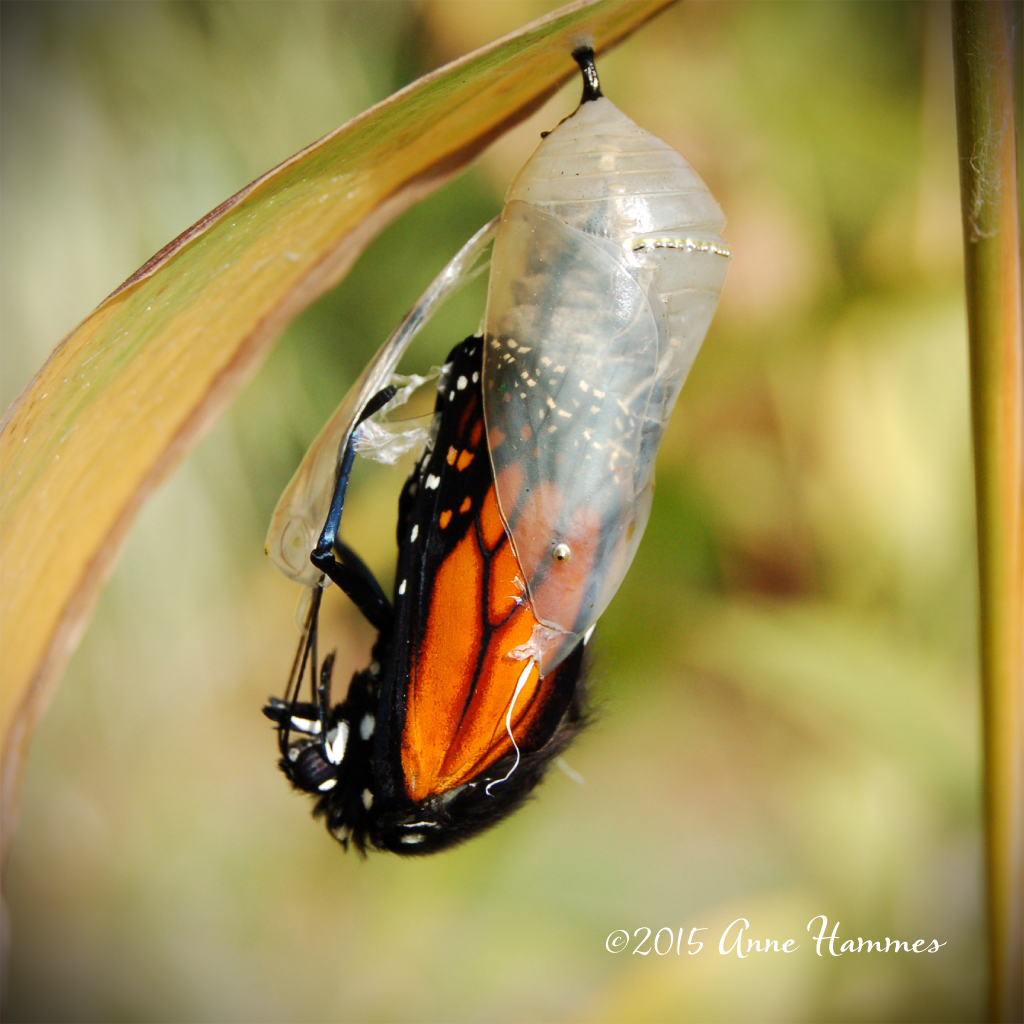 Raising Monarchs - Must have plants for Monarch butterflies