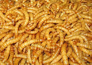 mealworms for sale