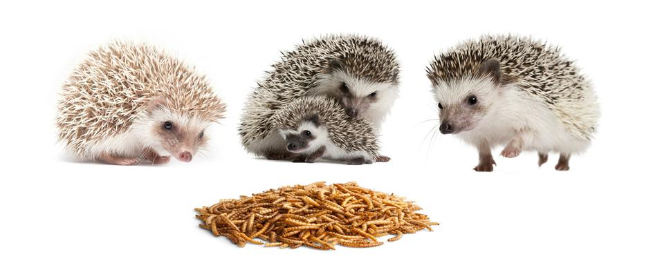 superworms and mealworms for sale in bulk