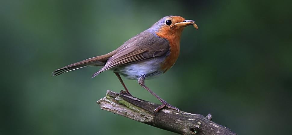 bluebirds love to eat mealworms