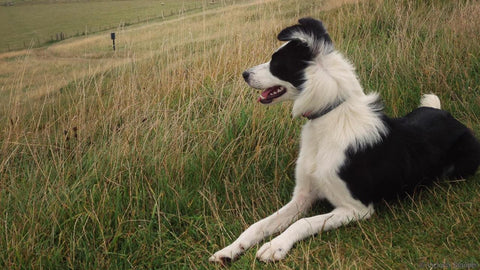 Peppy Pooch Collie Looking at Countryside