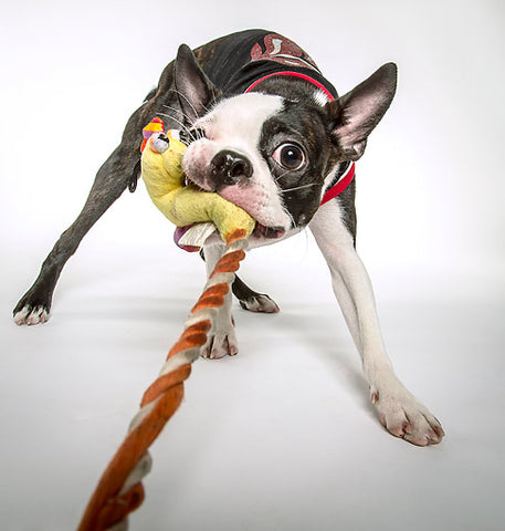 Peppy Pooch Pulling Rope With Strong Teeth