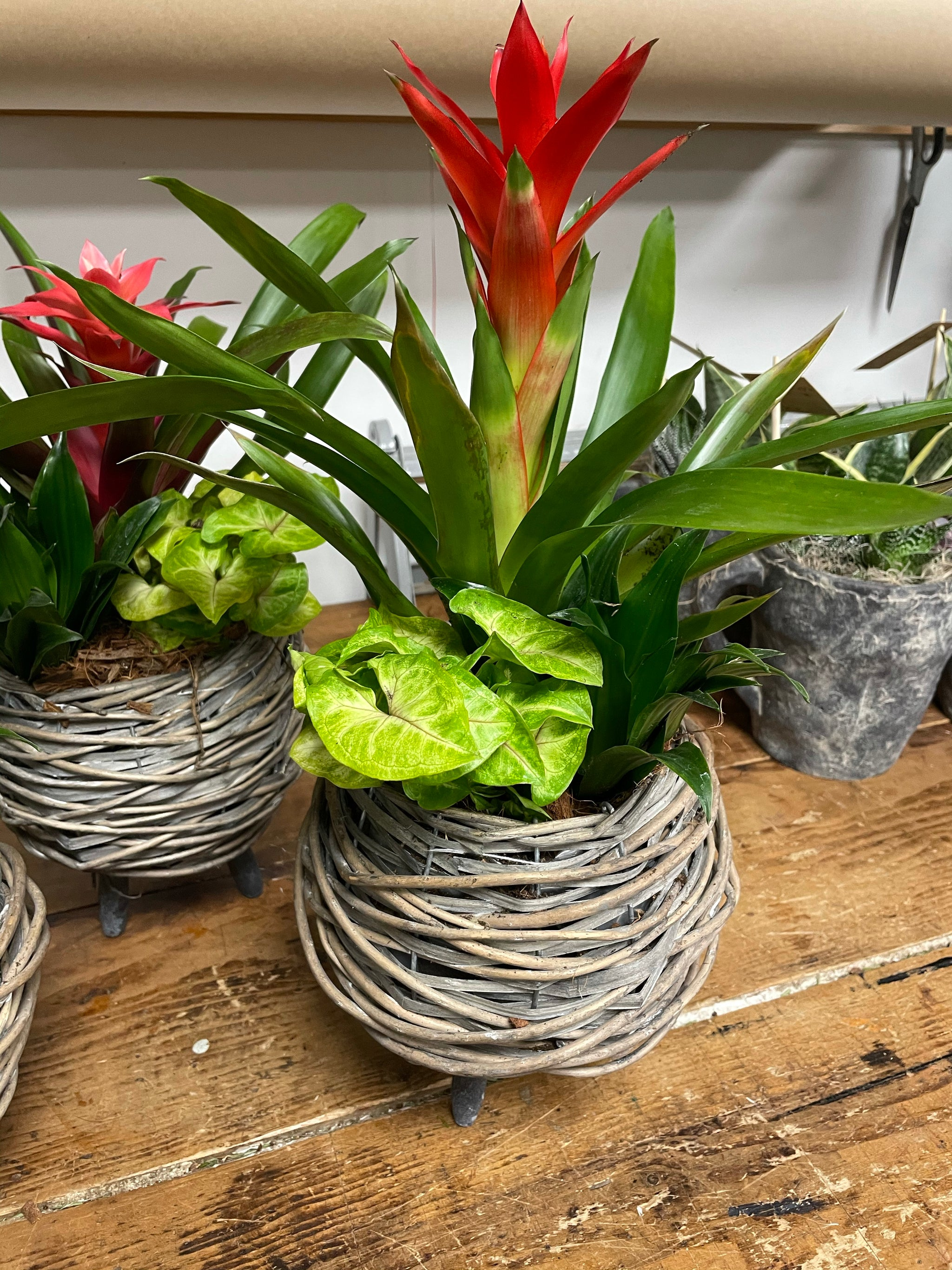 Bromeliad Wicket planter with legs