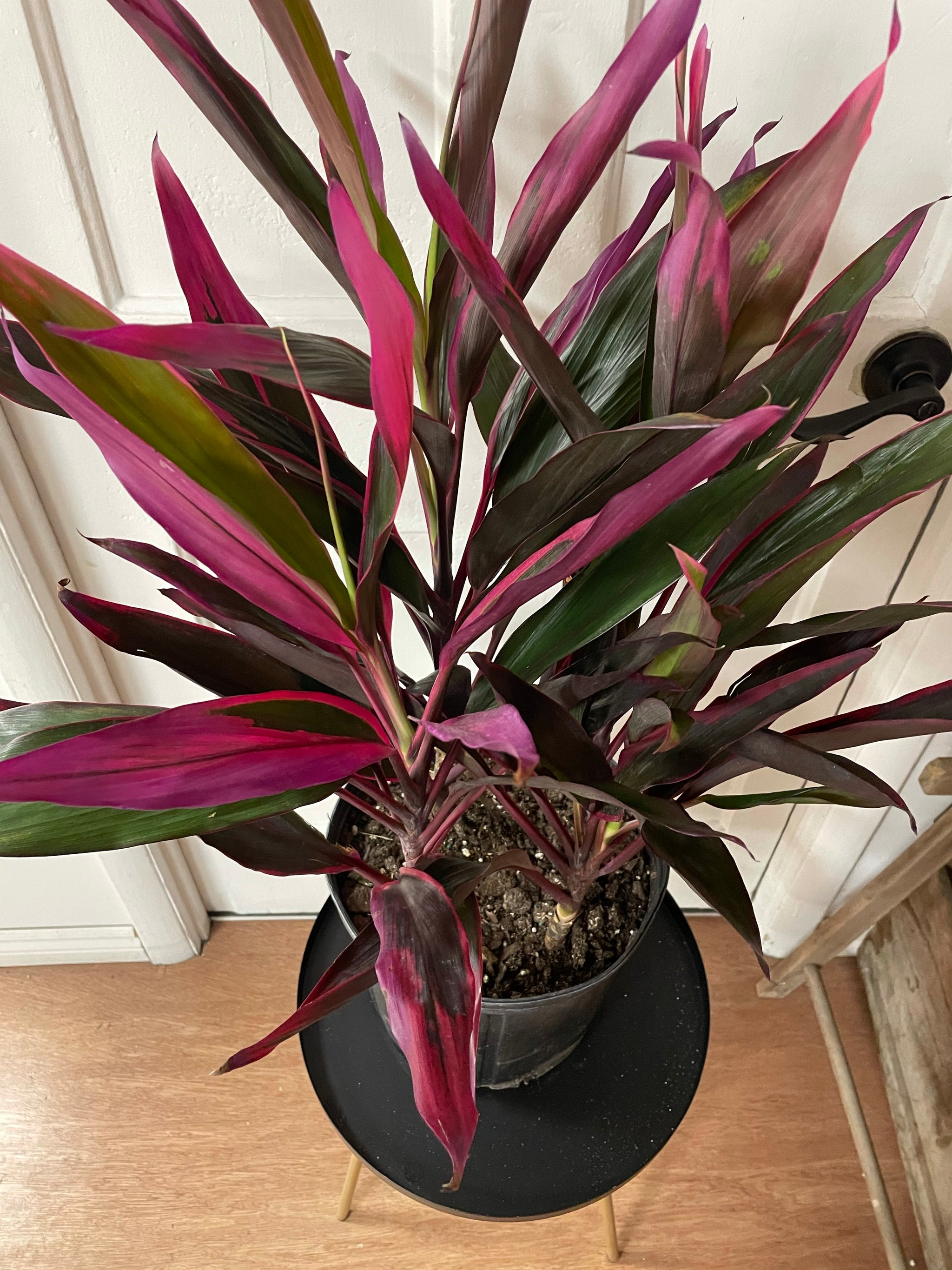 Cordyline Hotpepper 10""