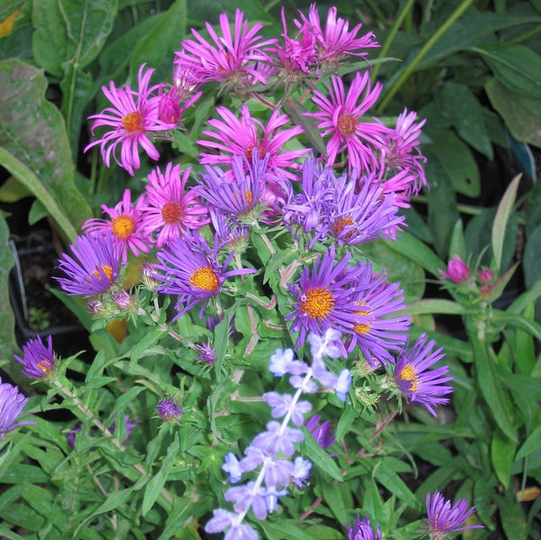 Purple perennials flowering perennials purple perennial flowers new england aster mightylinksfo