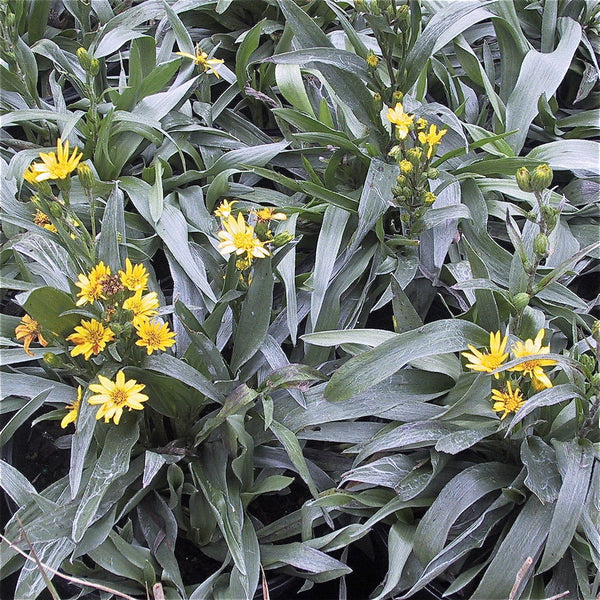 Pityopsis graminifolia<h3>Grass-Leaved Golden Aster</h3>