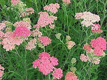 Achillea millefolium 'Apple Blossom'<h3>Apple Blossom Yarrow