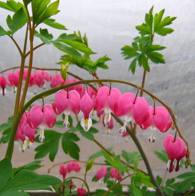 Dicentra spectabilis<h3>Old Fashioned Bleeding Heart</h3>