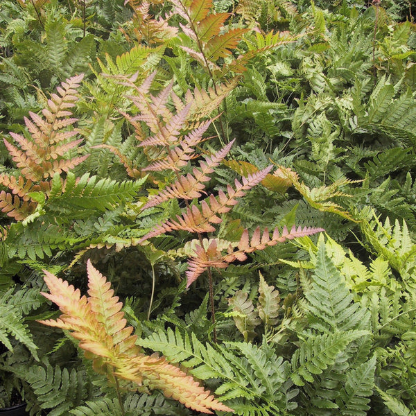 Dryopteris erythrosora Autumn Brilliance<h3>Fern, Autumn</h3>