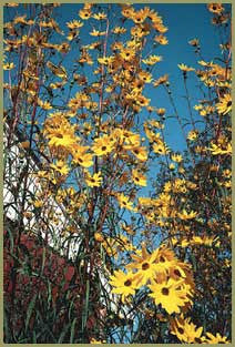Helianthus simulans<h3>Tall Narrow-leaved Sunflower</h3>