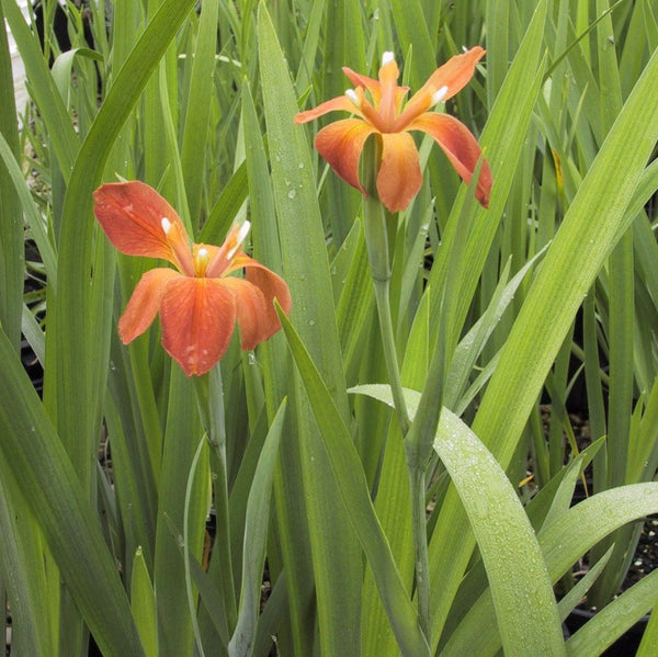 Iris fulva<h3>Copper Iris</h3>