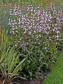 Penstemon digitalis 'Husker Red'<h3>Husker Red Beard-Tongue</h3>