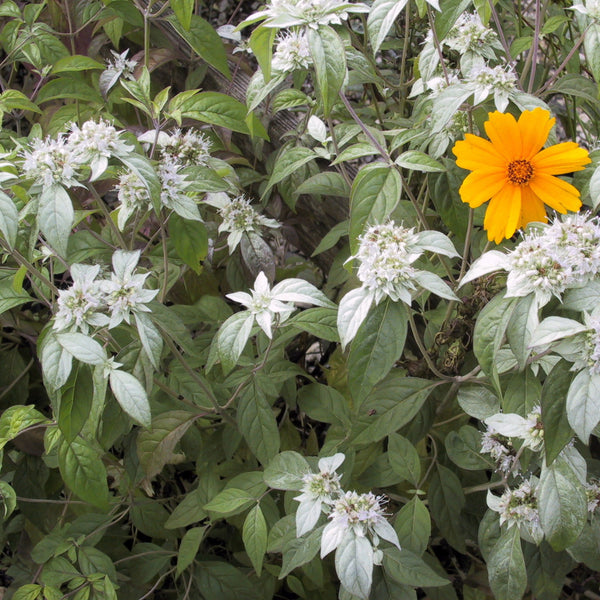 Pycnanthemum incanum<h3>Mountain Mint</h3>
