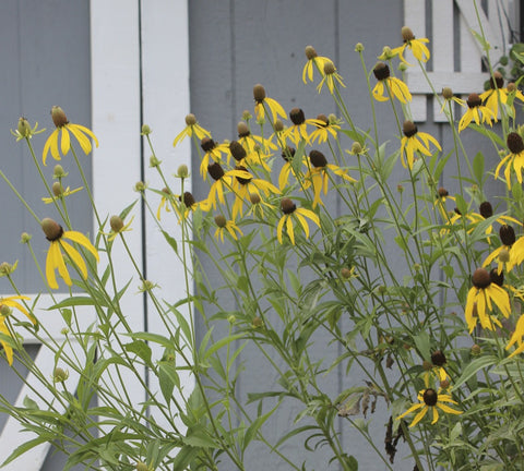 Ratibida pinnata<h3>Coneflower, Gray Headed </h3>