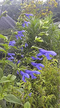 Salvia guaranitica<h3>Sage, Blue Anise</h3>