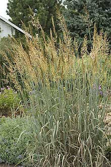 Sorghastrum nutans 'Sioux Blue'<h3>Grass, Sioux Blue Indian</h3>