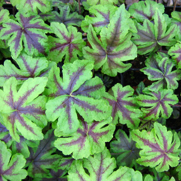 Tiarella 'Jeepers Creepers'<h3>Foamflower, Jeepers Creepers</h3>