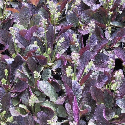 Salvia lyrata 'Purple Knockout'<h3>Purple Knockout Sage</h3>