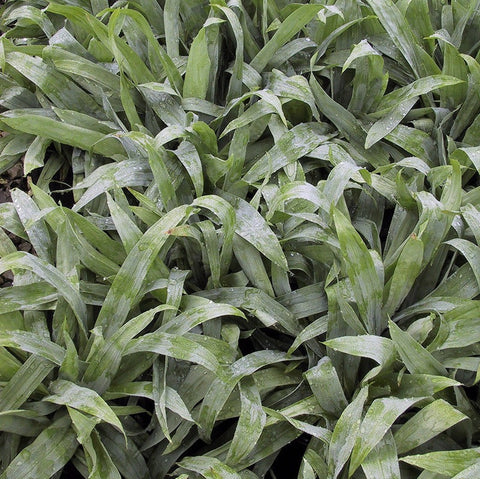 Carex platyphylla<h3>Sedge, Blue Satin </h3>