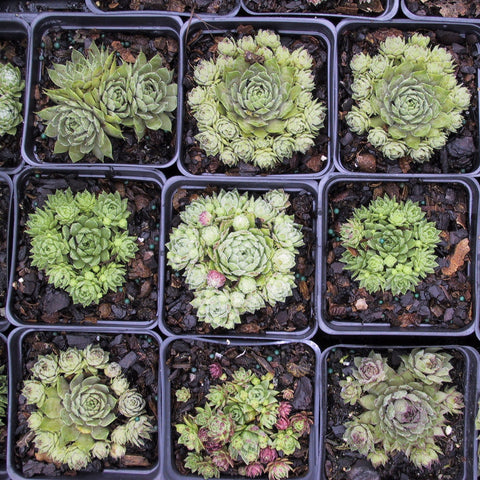 Sempervivum 'assorted'<h3>Hens and Chicks</h3>