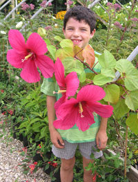 Hibiscus x 'Moy Grande'<h3>Moy Grande Rose Mallow</h3>