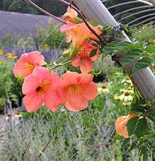 Campsis grandiflora 'Morning Calm'<h3>Trumpet Creeper</h3>