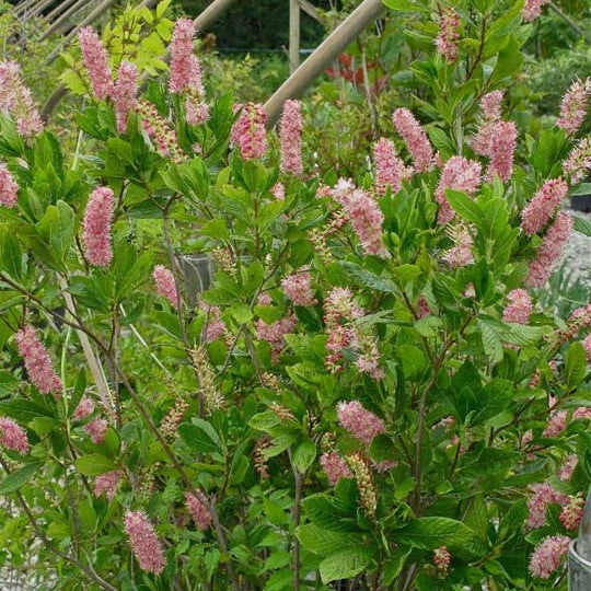 Clethra alnifolia 'Ruby Spice'<h3>Summersweet, Ruby Spice</h3>