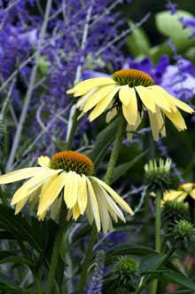 Echinacea x 'Sunrise'<h3>Coneflower, Sunrise</h3>