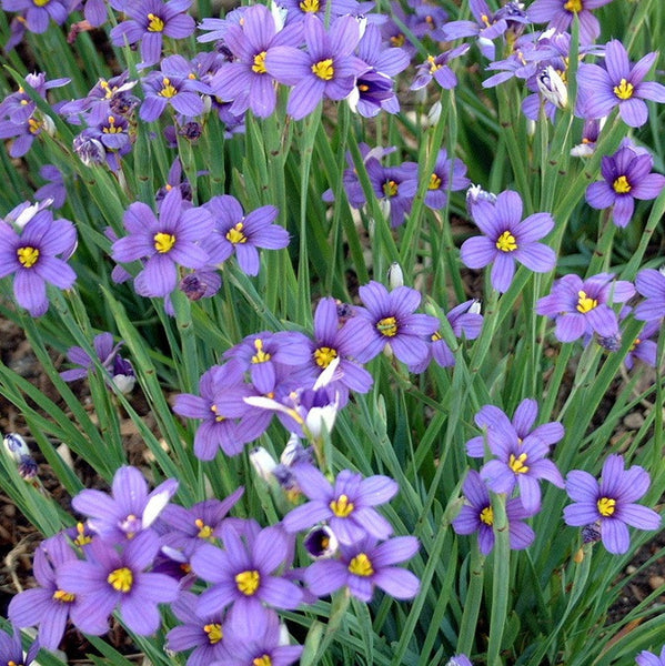 Blue perennials blue flowering plants flowering perennials lucerne blue eyed grass mightylinksfo