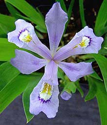 Iris cristata 'Powder Blue Giant'<h3>Iris, Powder Blue Giant</h3>