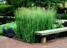 Panicum 'Heavy Metal'<h3>Grass, Heavy Metal Switch</h3>