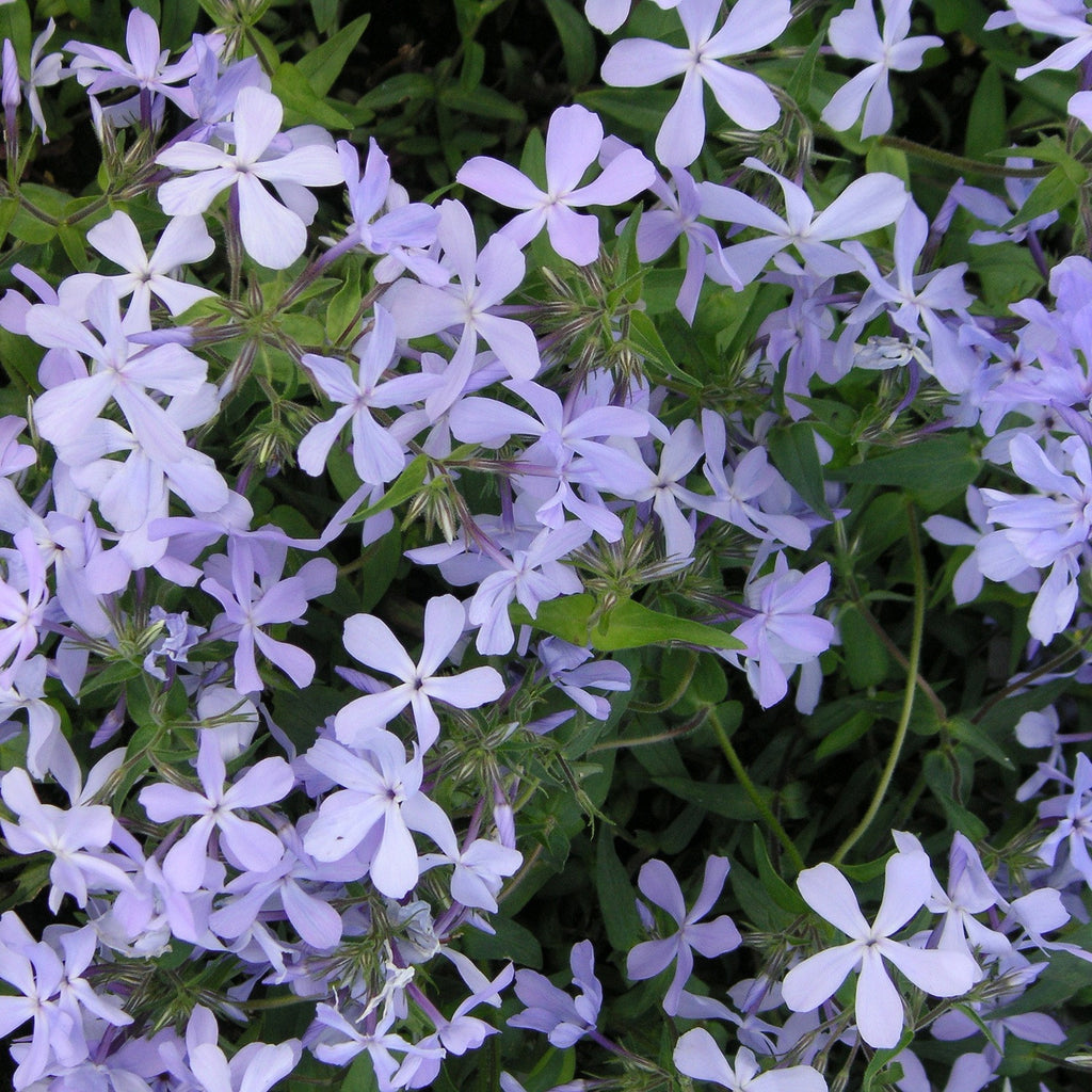 phlox divaricata 39 laphamii 39 blue woodland phlox wild sweet william sunlight gardens. Black Bedroom Furniture Sets. Home Design Ideas