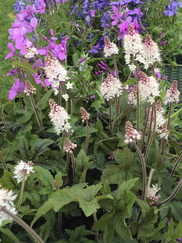 Tiarella cordifolia 'Pink Brushes'<h3>Foamflower, Pink Brushes</h3>