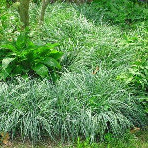 Carex flacca 'Blue Zinger'<h3>Sedge, Blue Zinger</h3>