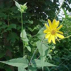 Helianthus divaricatus<h3>Woodland Sunflower</h3>
