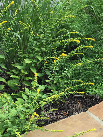 Solidago sphacelata 'Golden Fleece'<h3>Goldenrod, Golden Fleece </h3>