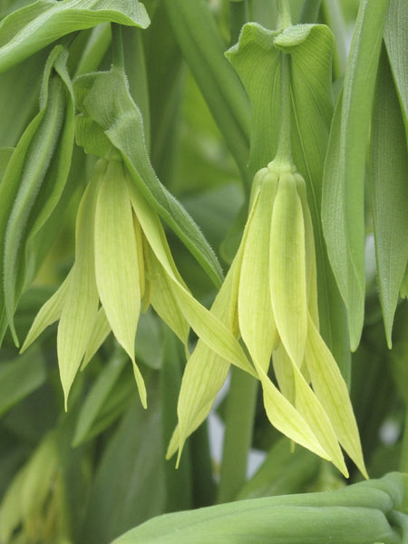 Uvularia grandiflora<h3>Large-flowered Bellwort</h3>