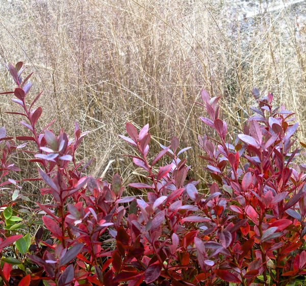 Vaccinium x 'Sunshine Blue'<h3>Blueberry, Southern Highbush</h3>