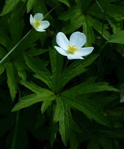 Anemone canadensis<h3>Canada Anemone</h3>
