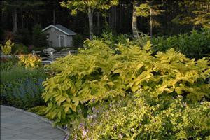 Aralia cordata 'Sun King'<h3>Golden Japanese Spikenard</h3>