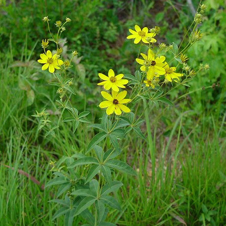Coreopsis major<h3>Whorled-Leaf  Coreopsis </h3>