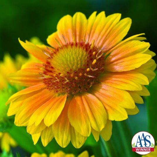 Gaillardia aristata 'Arizona Apricot'<h3>Blanket Flower</h3>