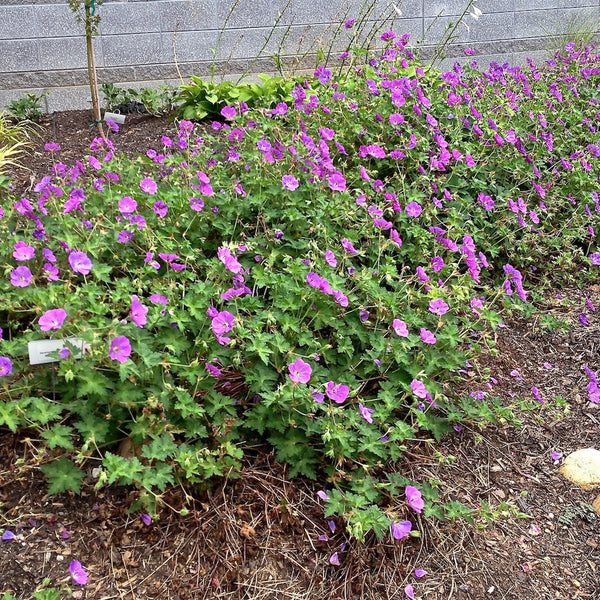 Purple perennials flowering perennials purple perennial flowers rozannes cranesbill mightylinksfo
