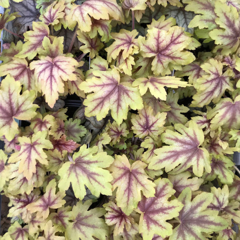 Heucherella 'Eye Spy'<h3>Eye Spy Foamy Bells</h3>