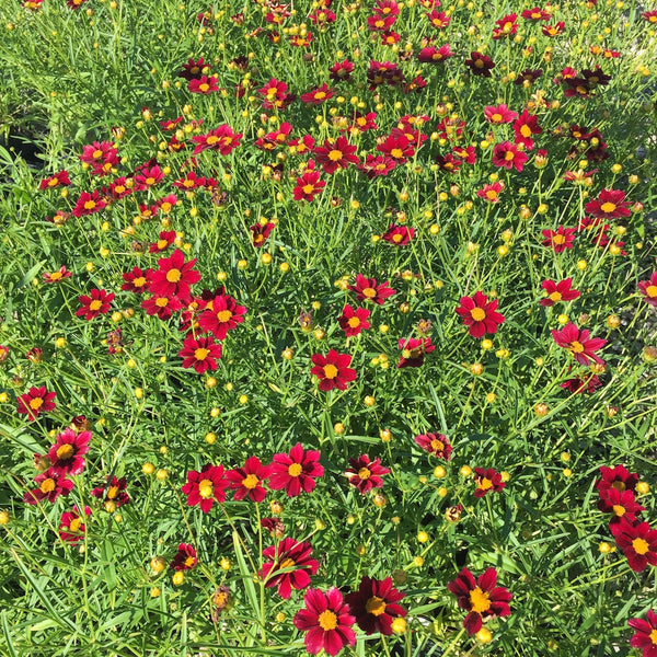Coreopsis 'Mercury Rising'<h3>Tickseed</h3>